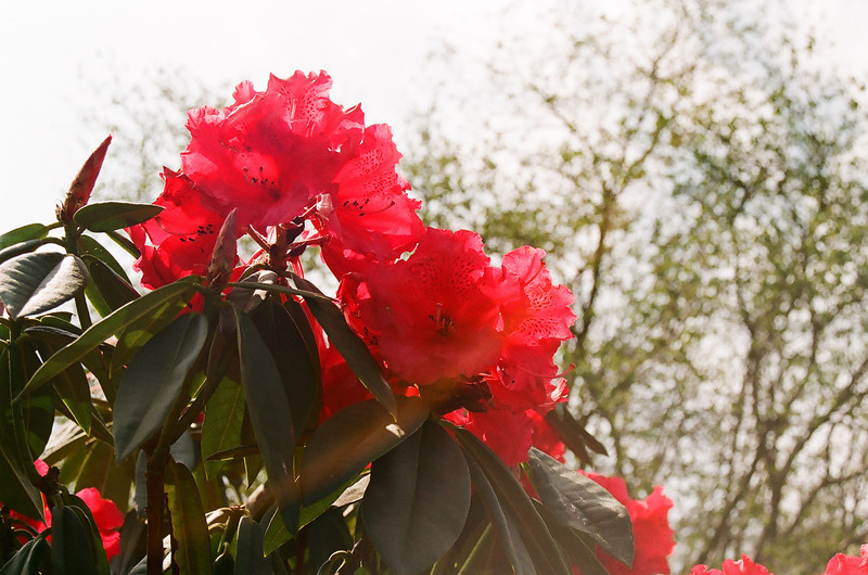 Red rhodo, red rhodo... (Fuji Superia 200 film)