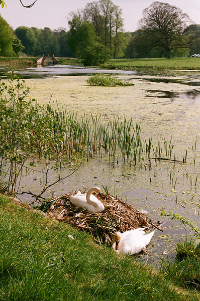 Swans in the lake at Hørsholm Church, Hørsholm, Denmark (Fuji Superia 200 film)