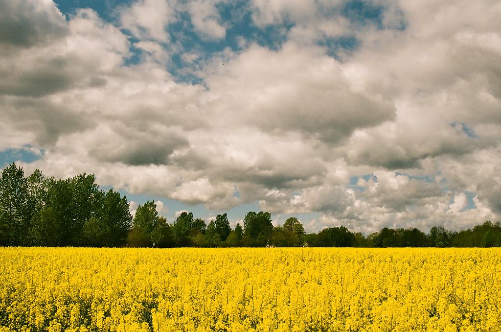 Canola field, fluffy clouds and blue sky...so Danish! (Fuji Superia 200 film)