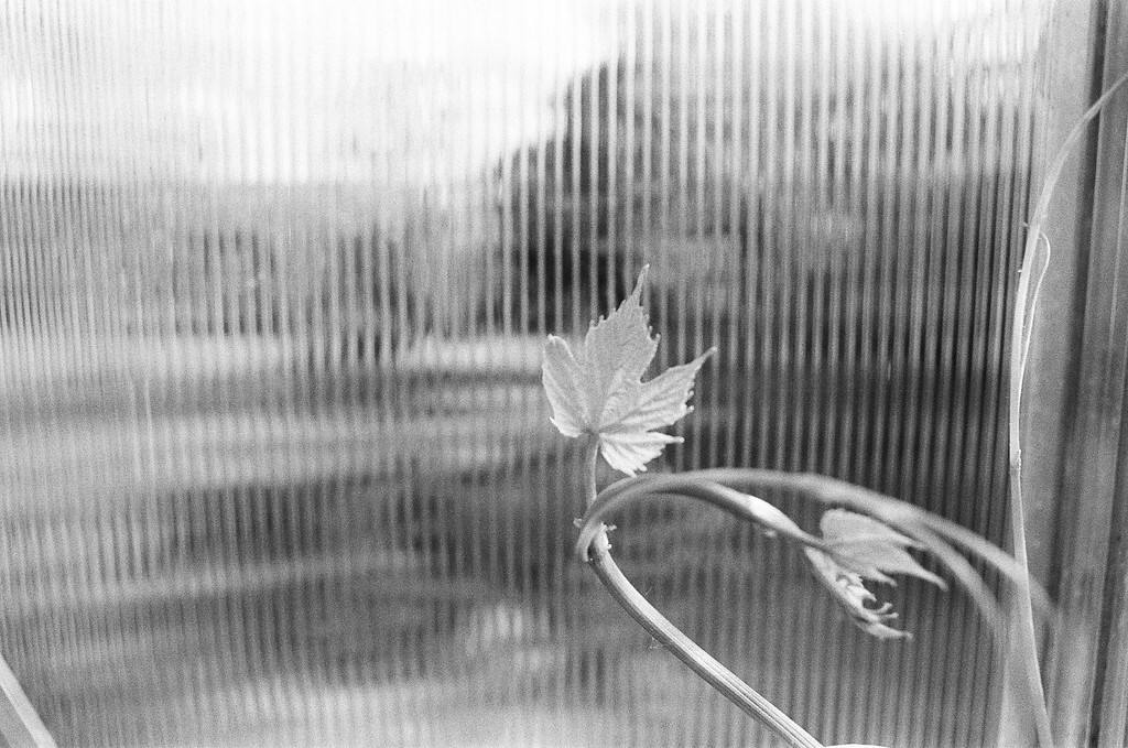 Heard it on the grape vine (Tri-X 400 film)