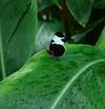 F0082-F03847Black Butterfly on leaf