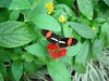 F0085-F03834Black and Red Butterfly