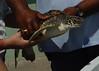 Turtle Held
