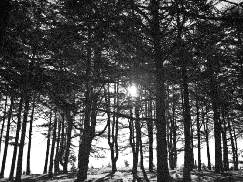 Himalayan Pines, Canberra Arboretum