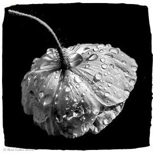 Poppy i n the Spring Rain