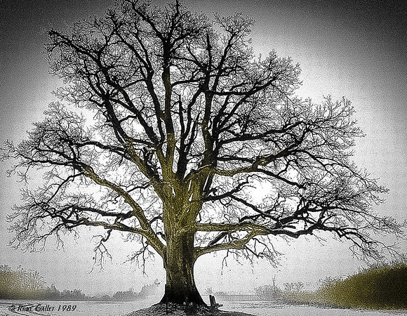 CA Live Oak # 3