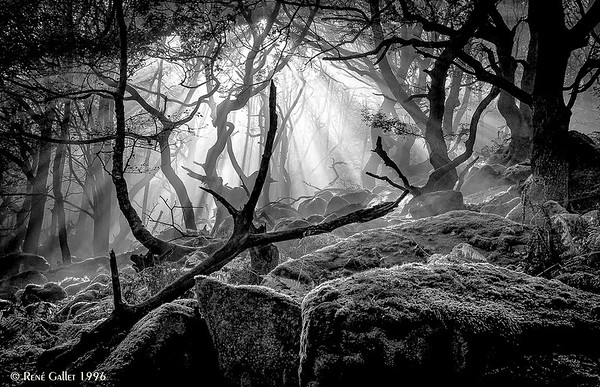 Foggy Coastal Forest
