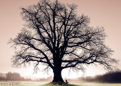 Ancient Oak - Foggy Sunrise