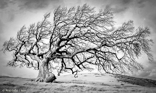CA Live Oak #2