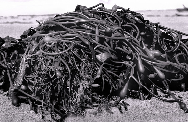 <center><h2>'Storm Kelp'</h2>  Weston Beach, CA</center>
