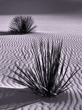 <center><h2>'Yuccas on Dunes' </h2>Dealth Valley, CA</center>