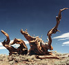 <center><h2>'Bristle Cone Pine 1'</h2>   near Lee-Vining, CA</center>