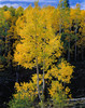 <center><h2>'Aspen in Autumn'</h2>   Navaho Lake, UT</center>