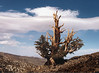 <center><h2>'Bristle Cone Pine on Ridge'</h2>   near Lee-Vining, CA</center>