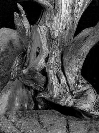 <center><h2>'Cypress Trunk'</h2> Point Lobos, CA</center>