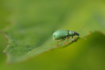 Shiny green beetle