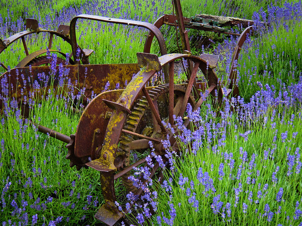 Lavender and old farm machinery at Cedarbrook Lavender farm, Sequim, Washington