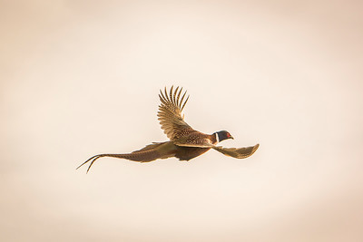 Pheasant in flight.