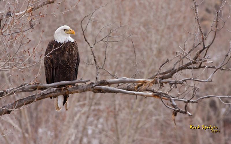 Bald Eagle on the Colorado River North of Dotsero