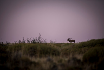 Bugling elk at dusk.