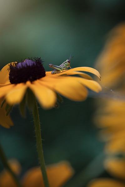 Grasshopper black eyed susan