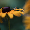 Grasshopper black eyed susan