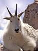 Rocky Mountain Goat Ponders My Presence