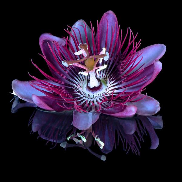 UVIVF Passion Flower
