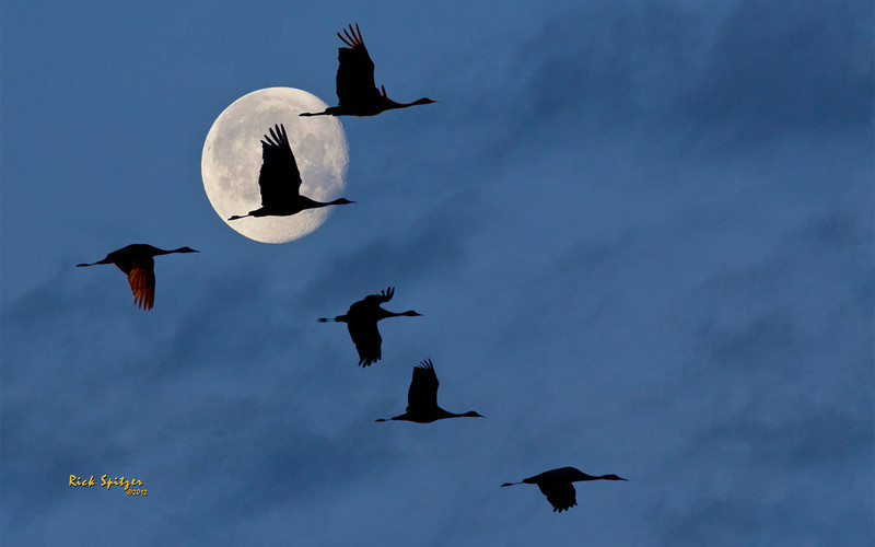 Sandhill Cranes Take Flight in the Early Morning at the Monte Vista National Wildlife Refuge