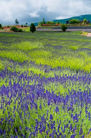 Purple Haze Lavender Farm fields, Sequim, Washington.