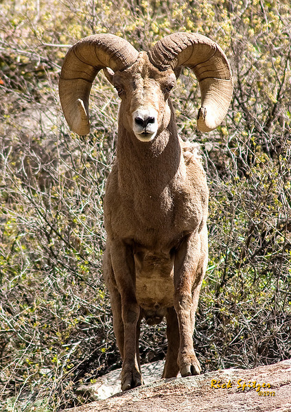 Bighorn Ram near Golden