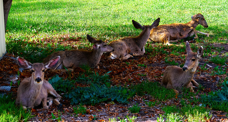 Mule Deer family resting in my backyard.