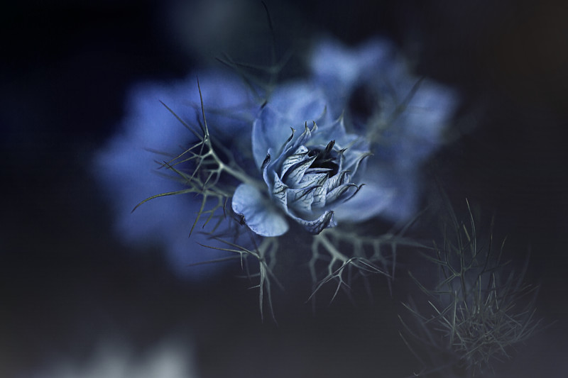 Blue Love in a Mist Kristen Rice