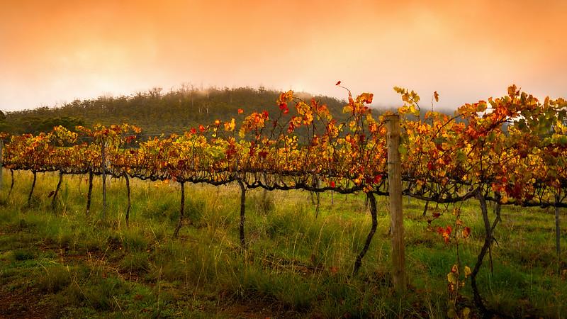 Autumn sunrise at the vinyard. Near Sterling Range, Western Australia.
