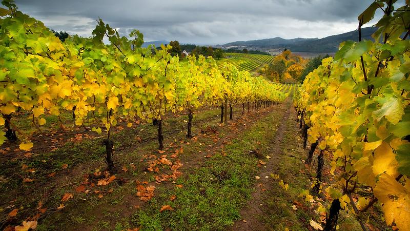 Oregon Autumn Vinyard