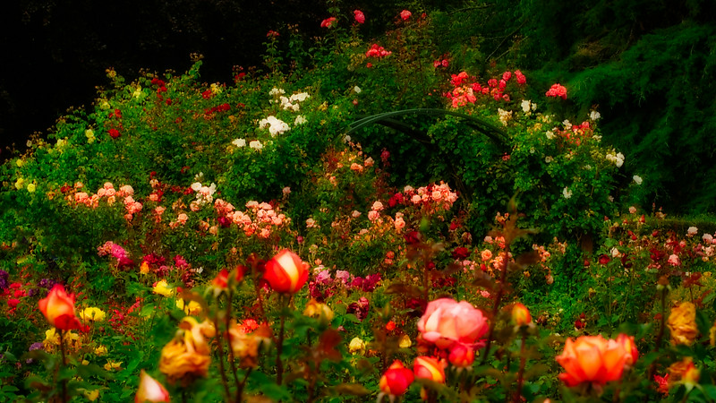 Roses, Christ Church botanical gardens