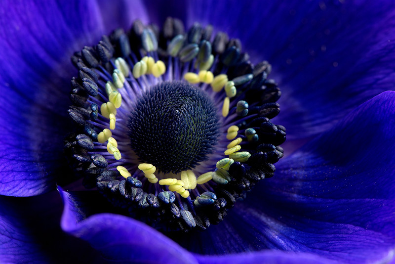 18 Blue French Anemone - 50x75cm on dibond with matte coating and no frame