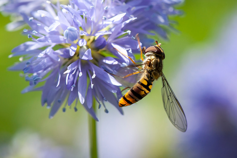 19 Hoverfly on blue flower - 50x75cm on dibond with matte coating whitout frame