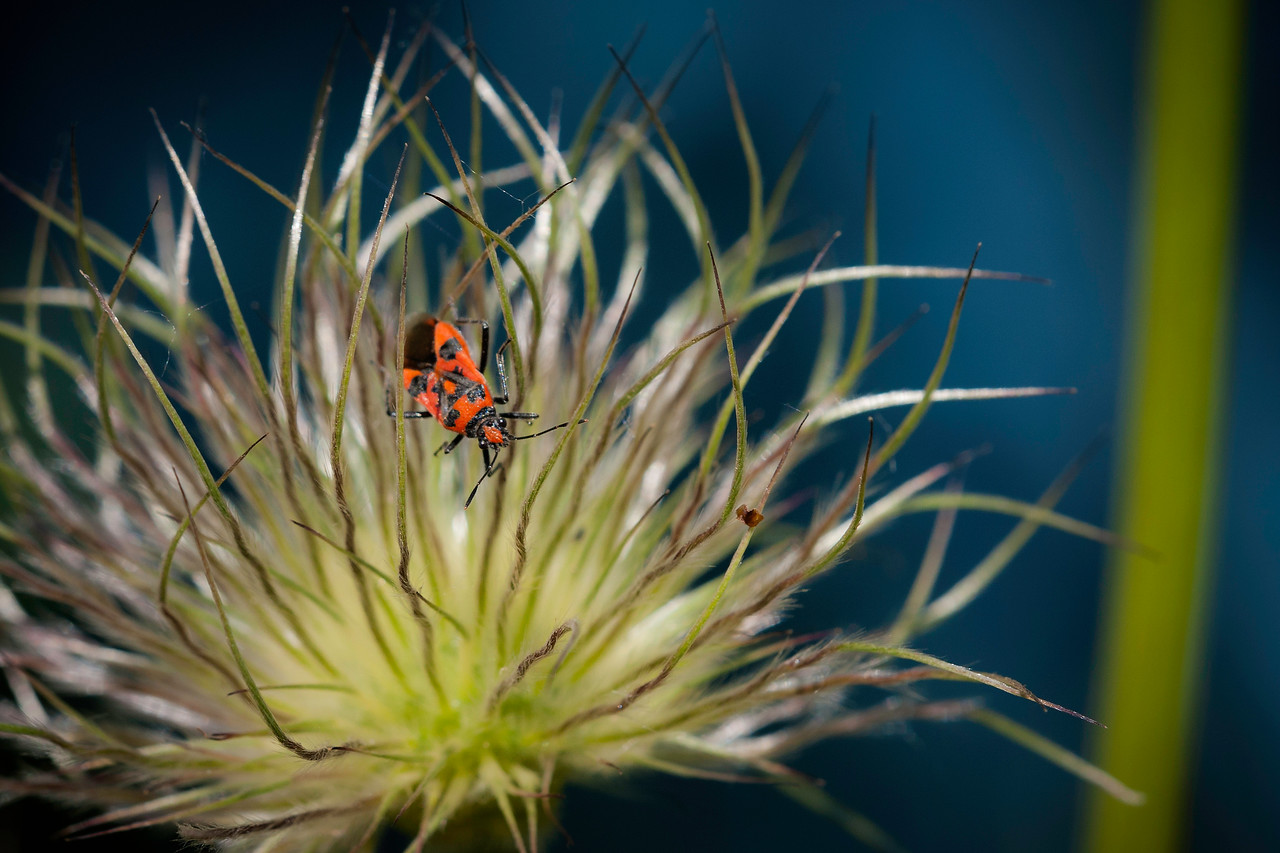 02 Red shield bug on blue background - 50x75cm on dibond with matte coating
