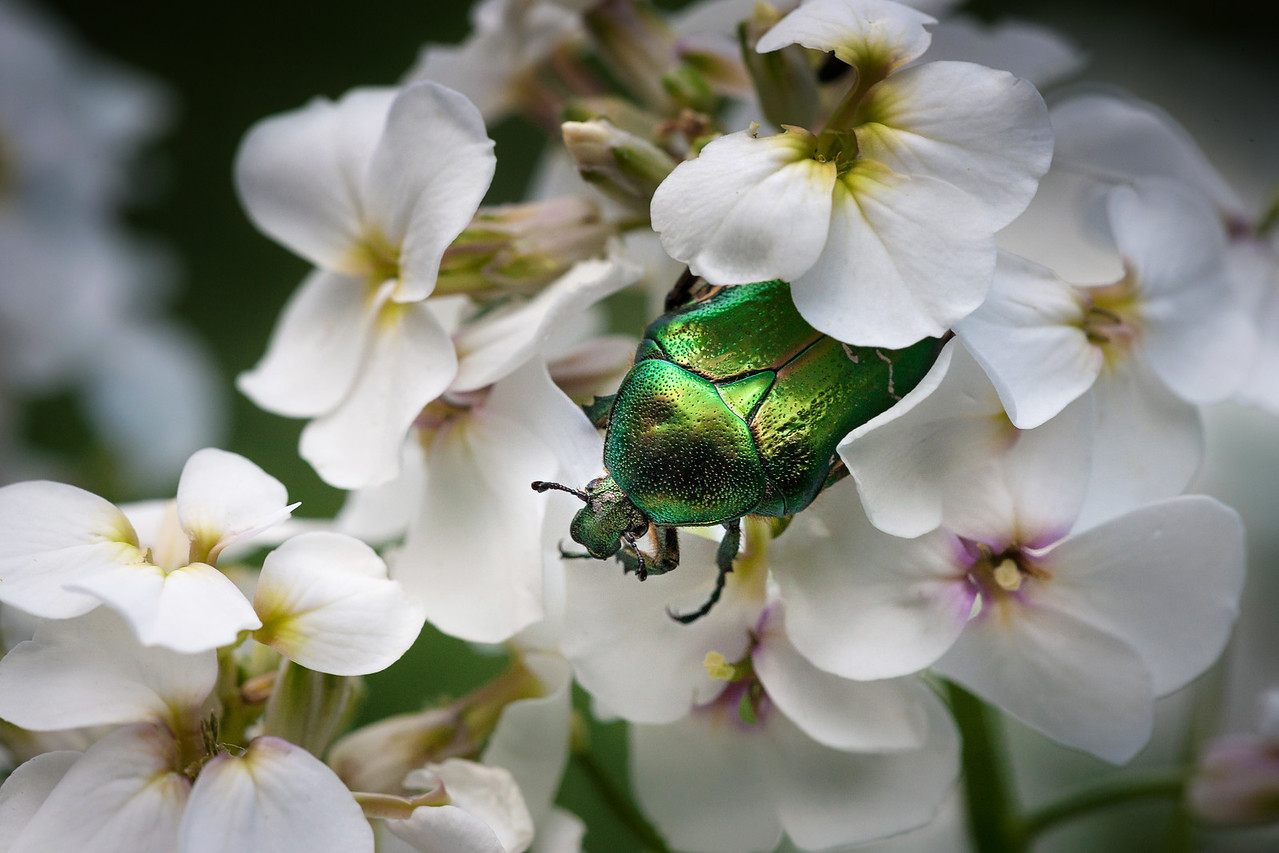12 Green bug on a white flower