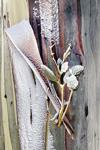 Snowgum-11
