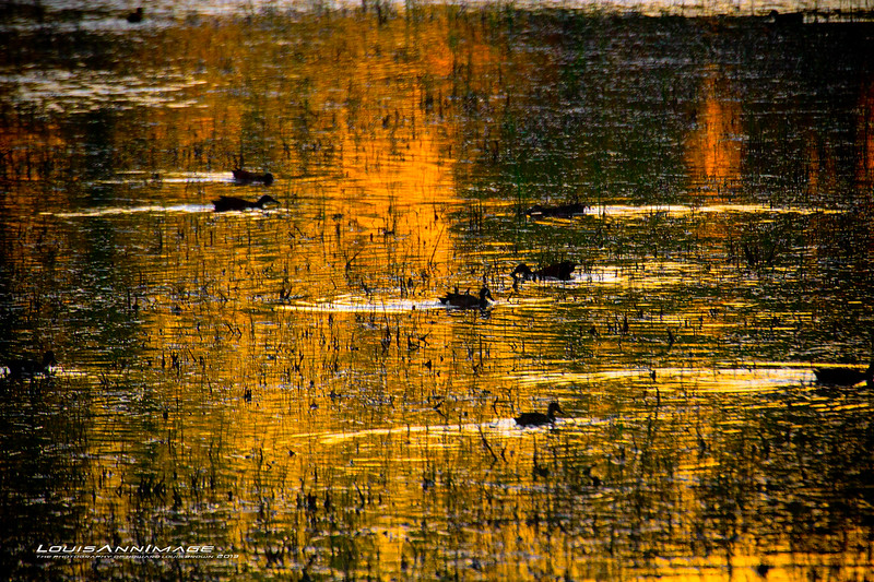 Shoveler Duck - Evening on the water, Bosque del Apache NWR, NM