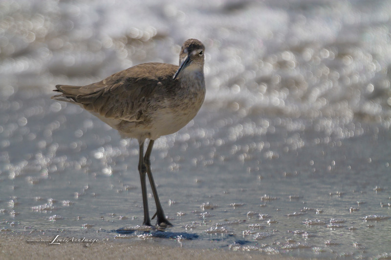 'Piper...'<br /> By the sea - Anna Maria Island, Florida