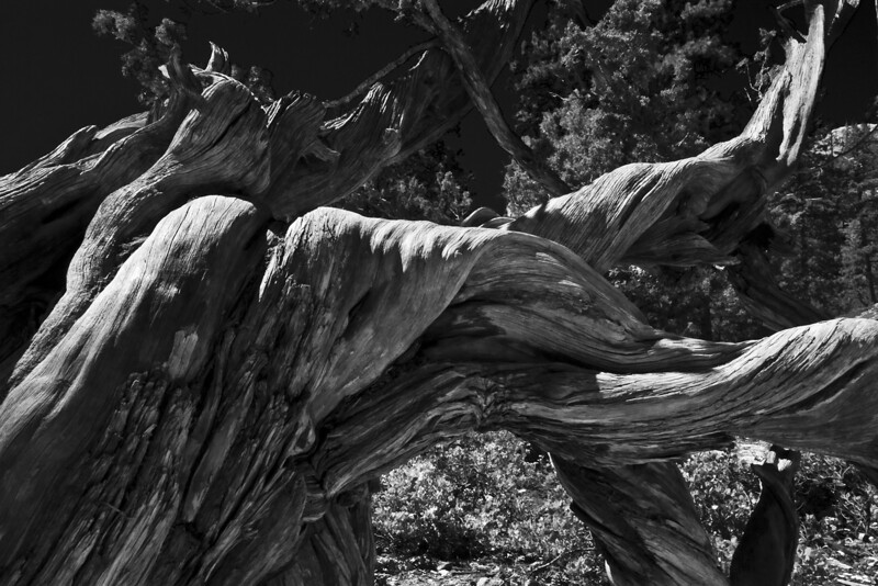 How old are you?  Makes ya think?!?  - Thousands of years of twisted growth and finally death.. this bristlecone pine root system still marks the Navaho trail. Bryce Canyon, Utah.