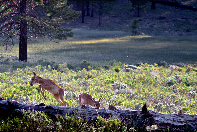 Just inside the park entrance, a pair of Pronghorn Kids were grazing a meadow off the roadway about an hour before dark - mom was just to the right, but her babies were my subjects..  And, as luck would have it, a leap is caught just at the release of my shutter! Bryce Canyon, Utah.
