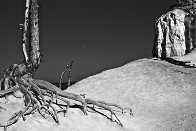 Moonrise, Bristlecone Pine at the rim below Upper Inspiration Point. Bryce Canyon, Utah.