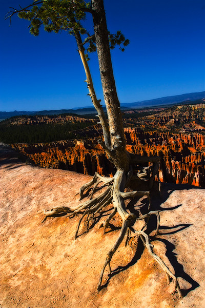 Bristlecone Pine, at the rim below Upper Inspiration Point. Bryce Canyon, Utah.