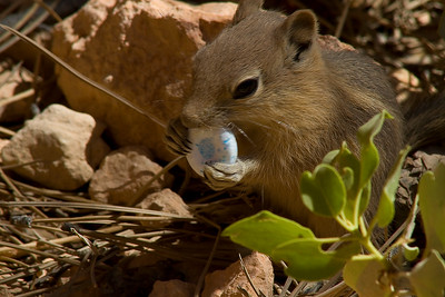 This chipmunk was working on his breath mint.. As clean and 'human free' as the park is, the little fellow still manages to forage up a snack he shouldn't have access to. Bryce Canyon, Utah.