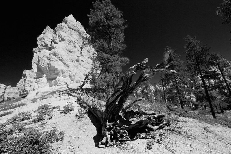 Infrared rendering.. Lightning Kill.  Bryce Canyon, Utah.