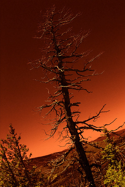 Douglas Fir - Lightning kill - Infrared rendering.  Cedar Breaks National Monument, Utah.